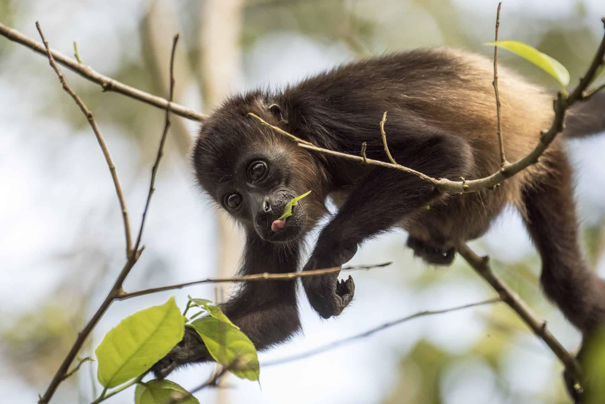 Costa Rica - Aapje snoept blaadje van de boom