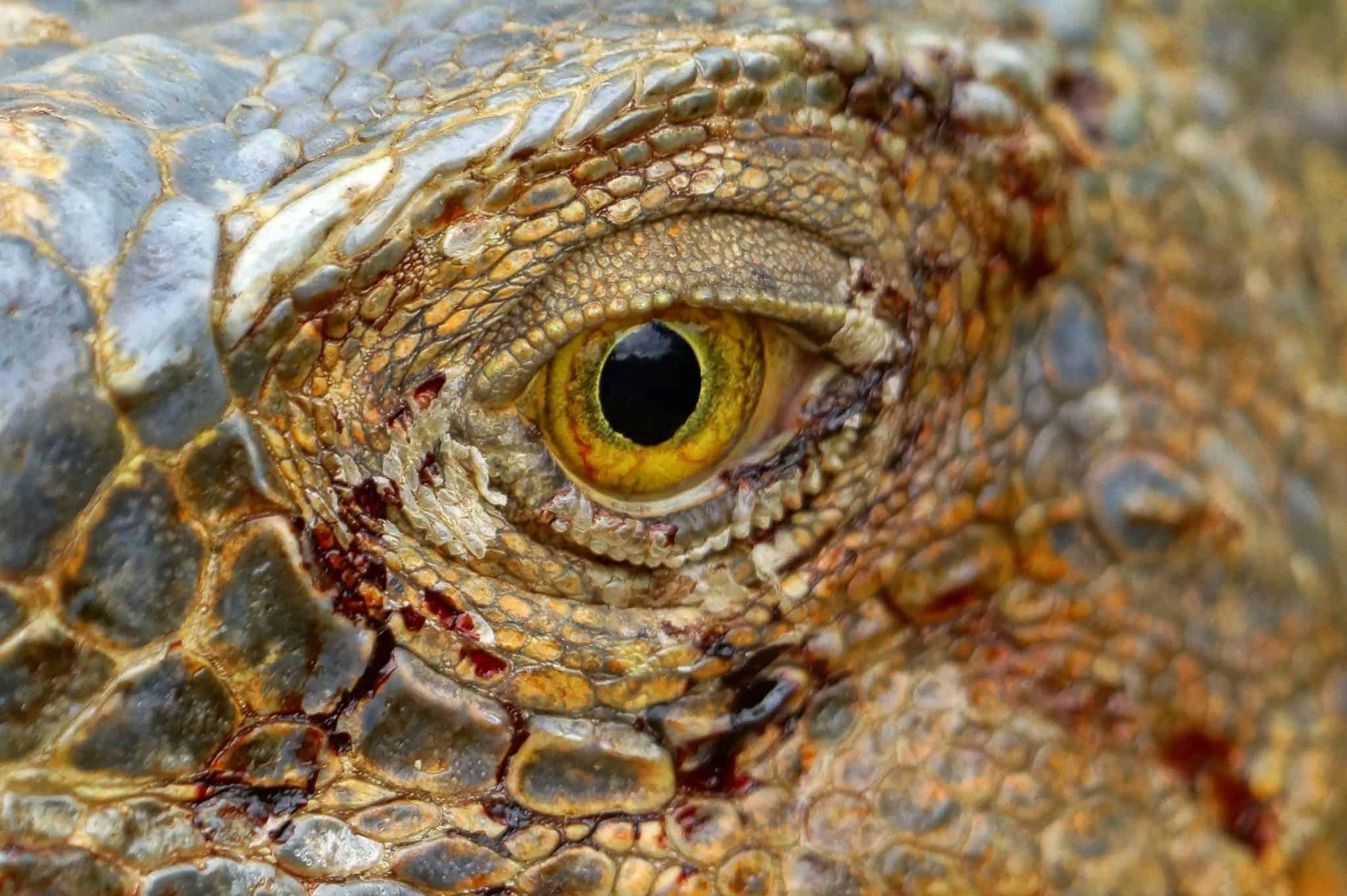 Oog met bloed van een leguaan - Fotoreis Costa Rica
