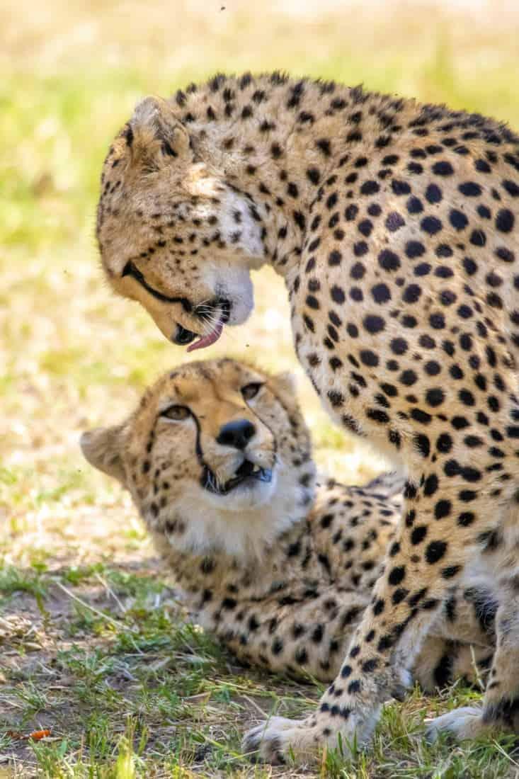 Cheeta tijdens fotoreizen Kenia Tanzania