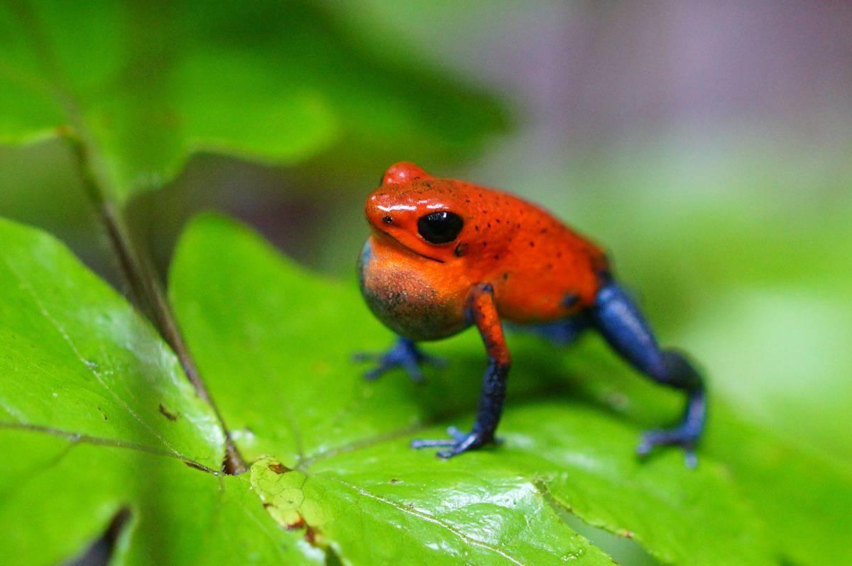 Fotografie reizen Jeanskikker, een rode kikker met ene 'blauw' broekje aan op een groen blad.