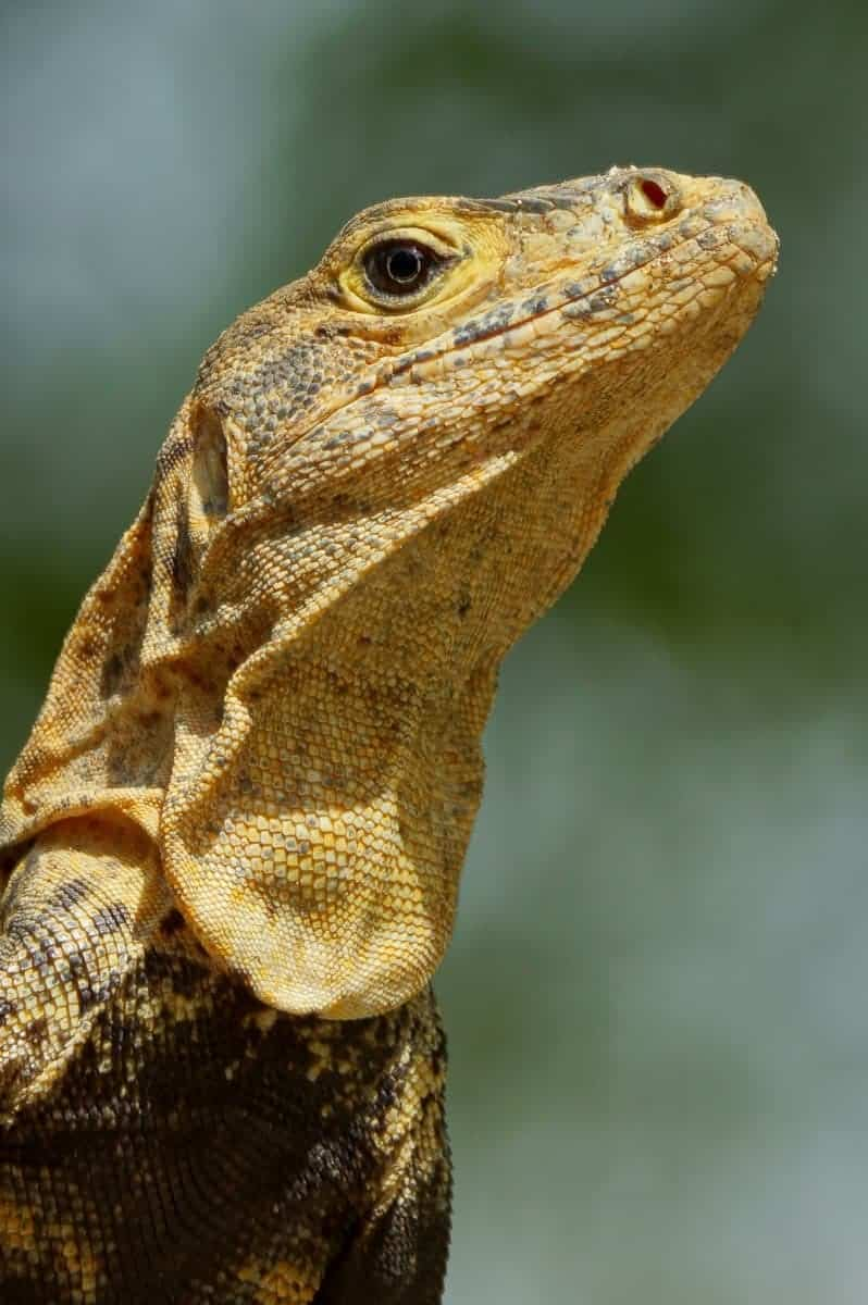 Groene Leguaan - Fotoreis Costa Rica
