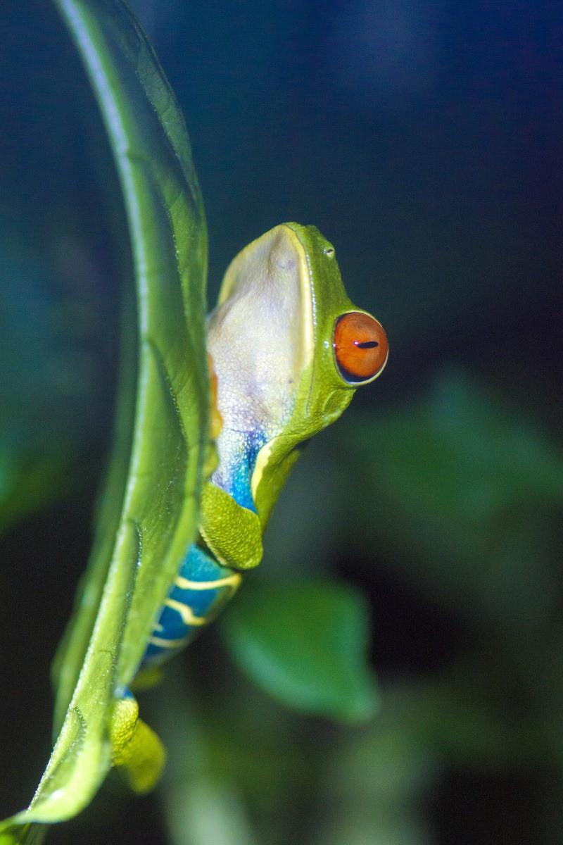 De roodoogmakikker is het symbool van Costa Rica.