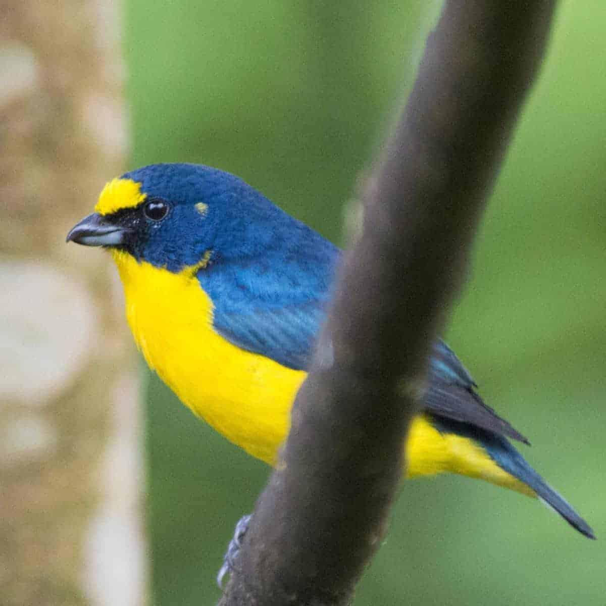 Geel met blauw vogeltje tijdens fotoreis Costa Rica