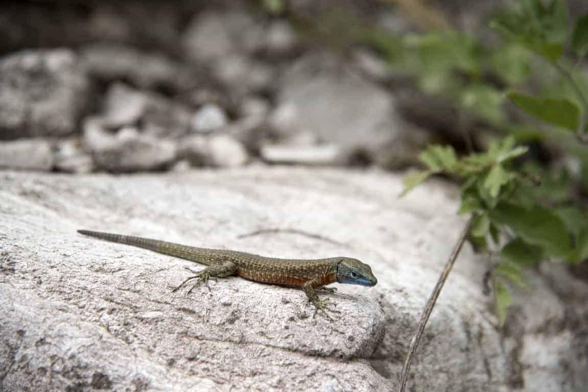 Fotoreis Albanië - Hagedis op een rots in de buurt van Teth