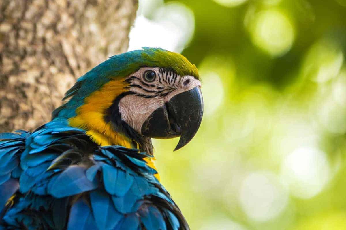 Blauwe ara in Pantanal fotografiereis