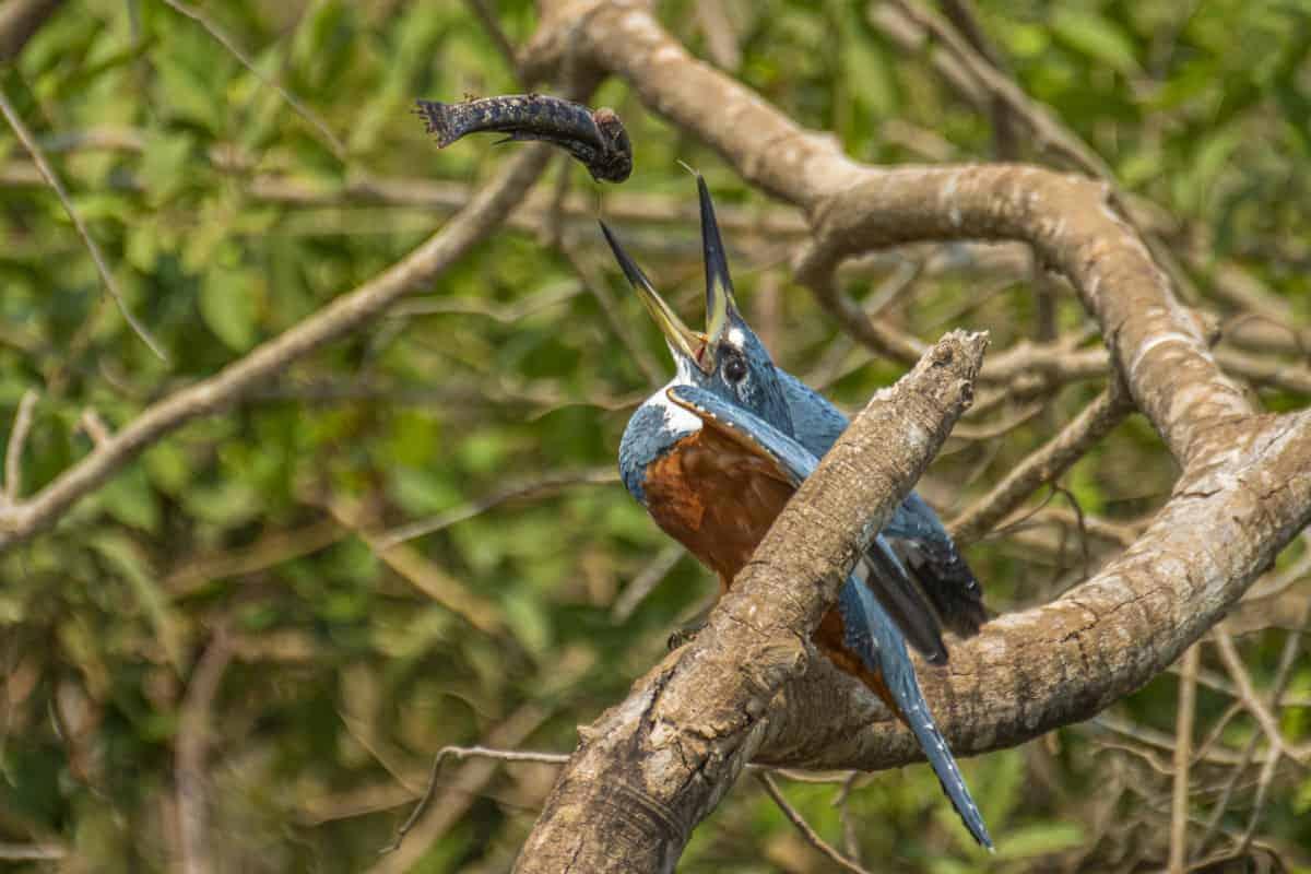 IJsvogel met vis in Pantanal Brazilië