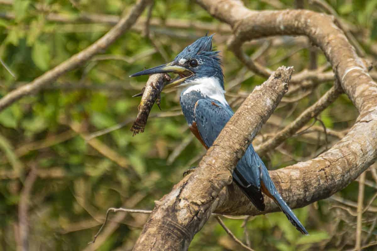 IJsvogel met vis in Pantanal Fotoreizen Brazilië