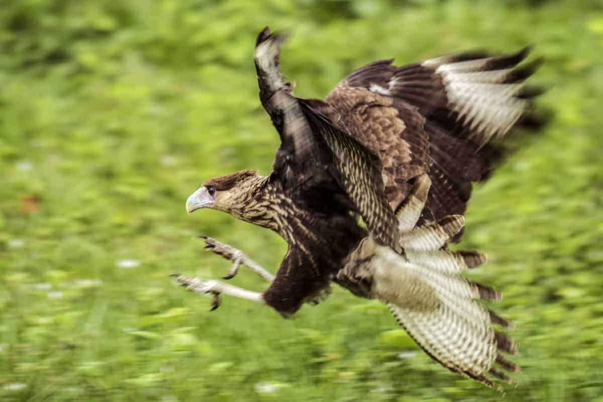 Vliegende arend tijdens de fotografiereis naar de Pantanal
