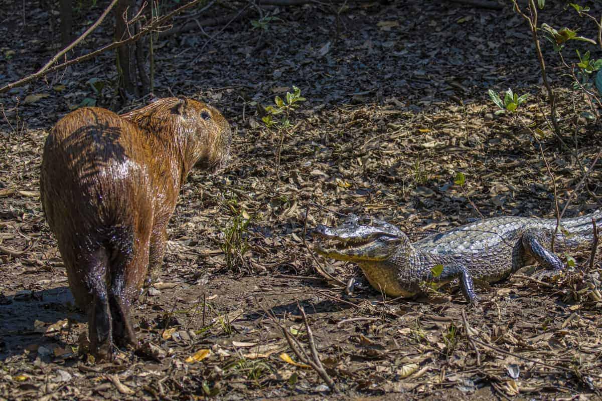 Capibari ontmoet kaaiman tijdens de fotografiereis naar Brazilië.
