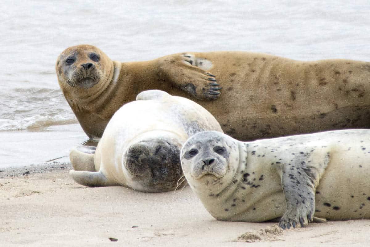 Fotoreis Helgoland - zeehonden