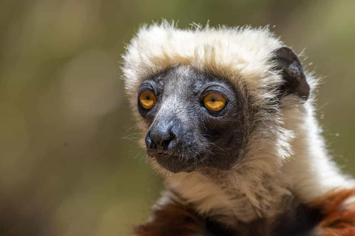 Fotoreis Madagaskar Antananarivo bruine lemuur