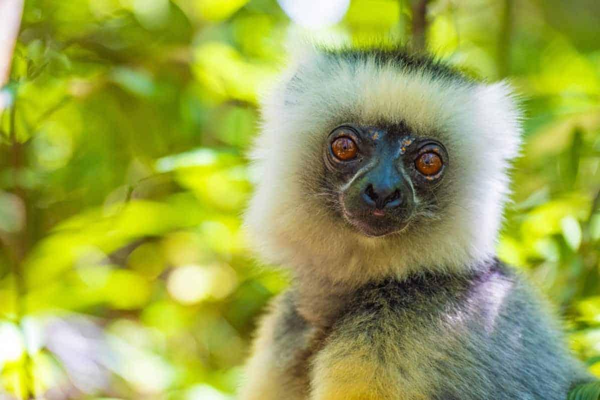 Fotoreis Madagaskar Antananarivo lemuur kijkend