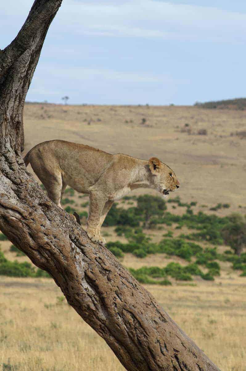 Fotoreizen Afrika Leeuw in boom