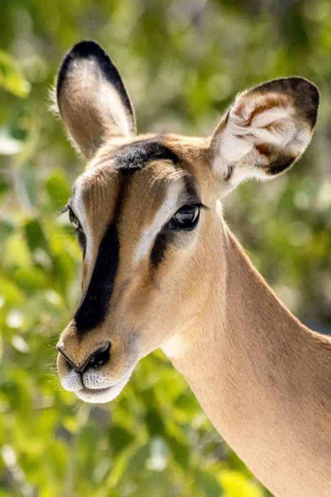 Fotoreizen Afrika antilopesoort