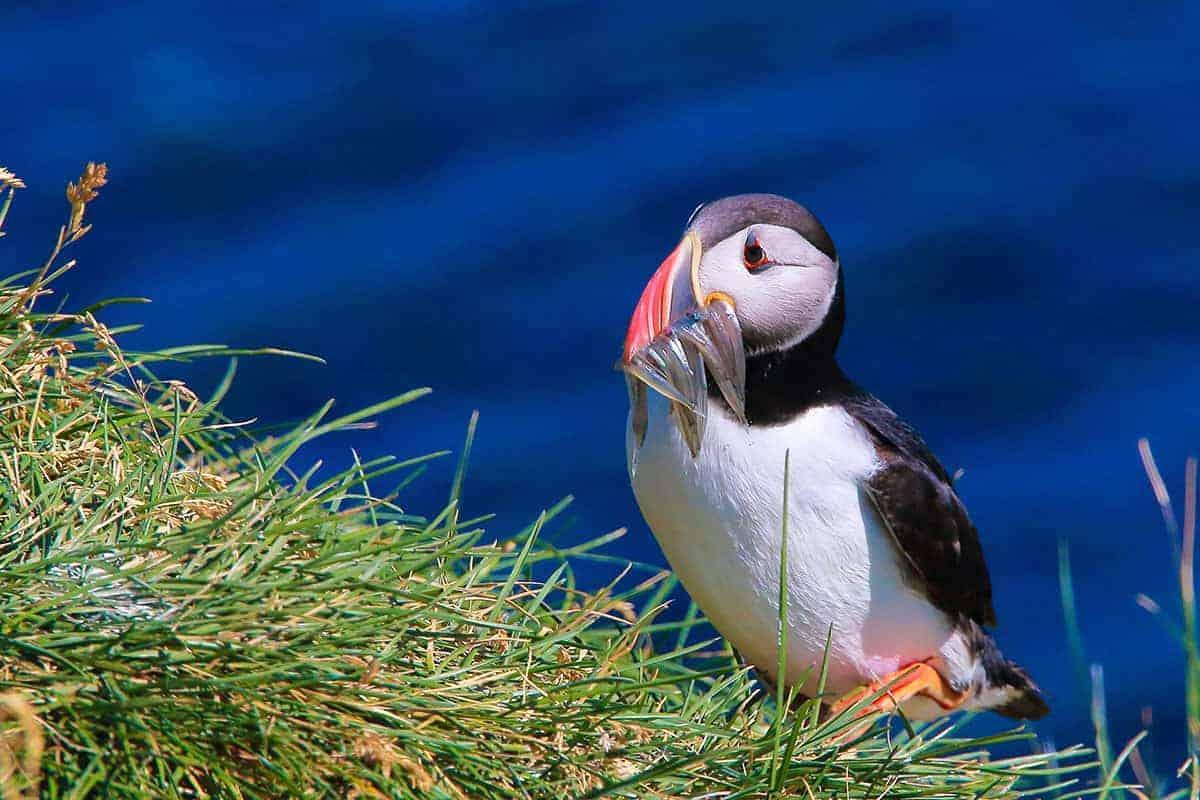 Papegaaiduiker tijdens Fotoreis IJsland Zomer