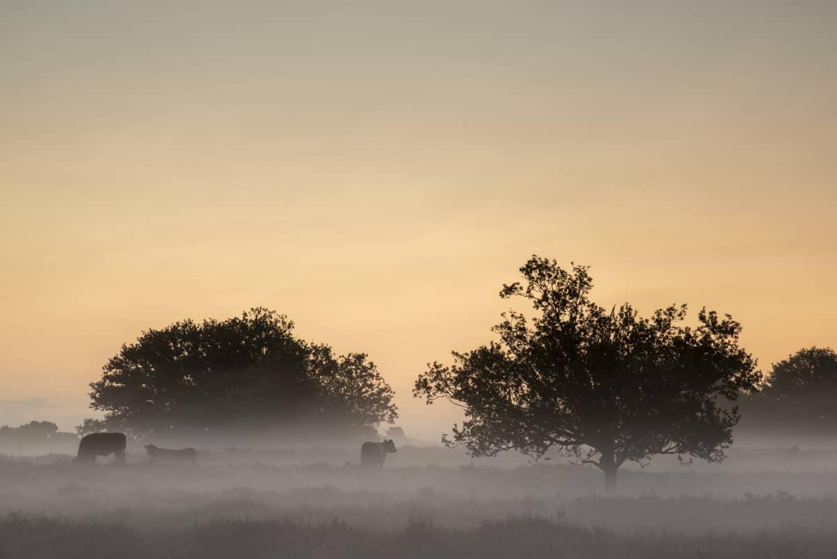 Koeien in de ochtendmist - Fotoweekend Brabant