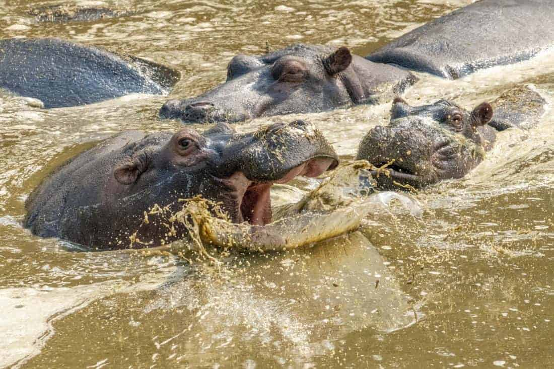 Kenia Tanzania Nijlpaarden-aan het vechten fotoreizen