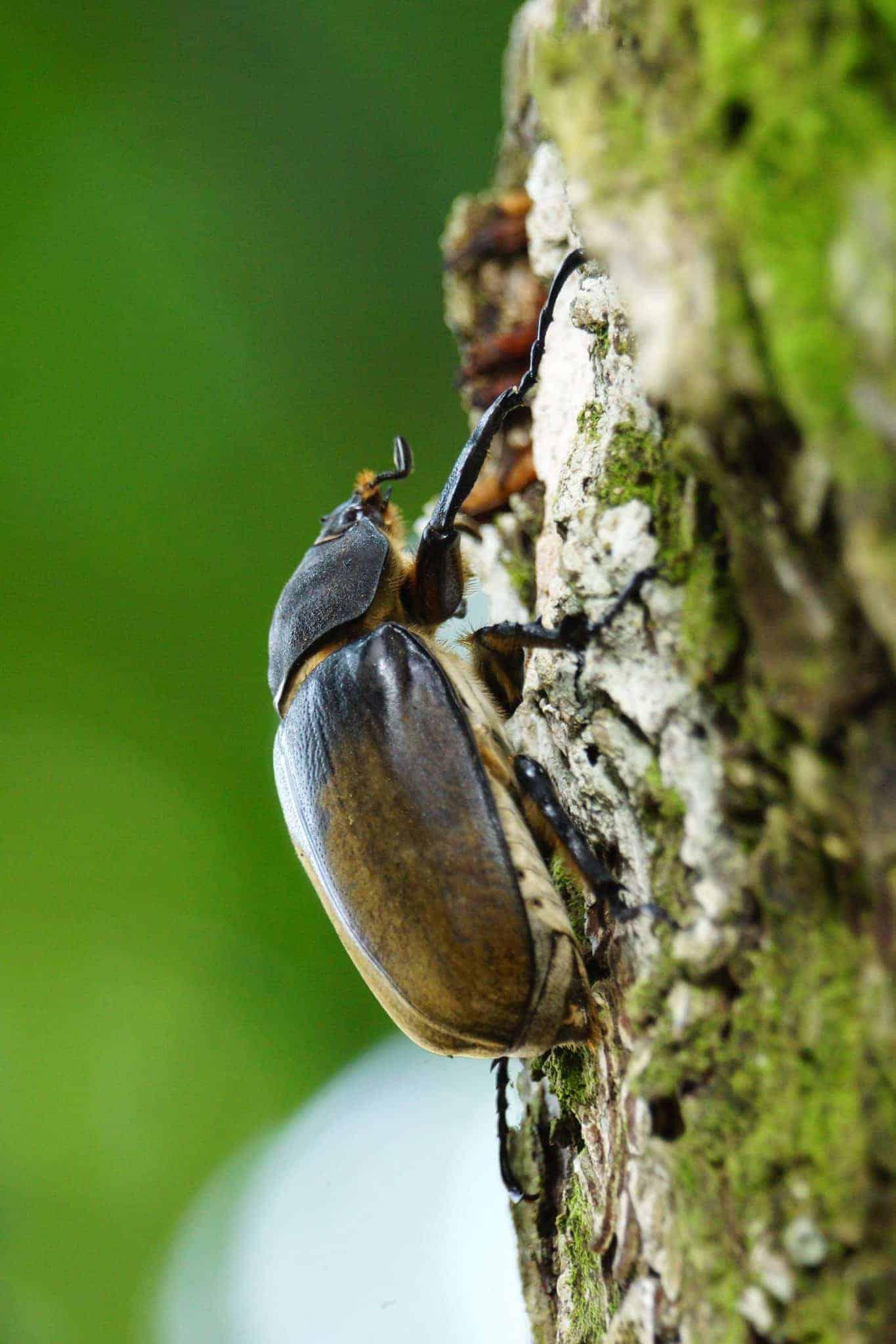Hercules tor op een boom