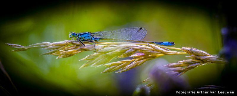 macrofotografie Libelle