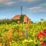 mont-ventoux-huisje-in-de-wijngaarde
