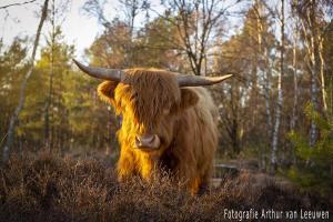 Schotse-hooglander, veluwe, rund, stier, horen