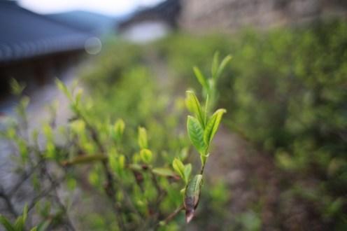 Čaj roste i přímo v klášteře...