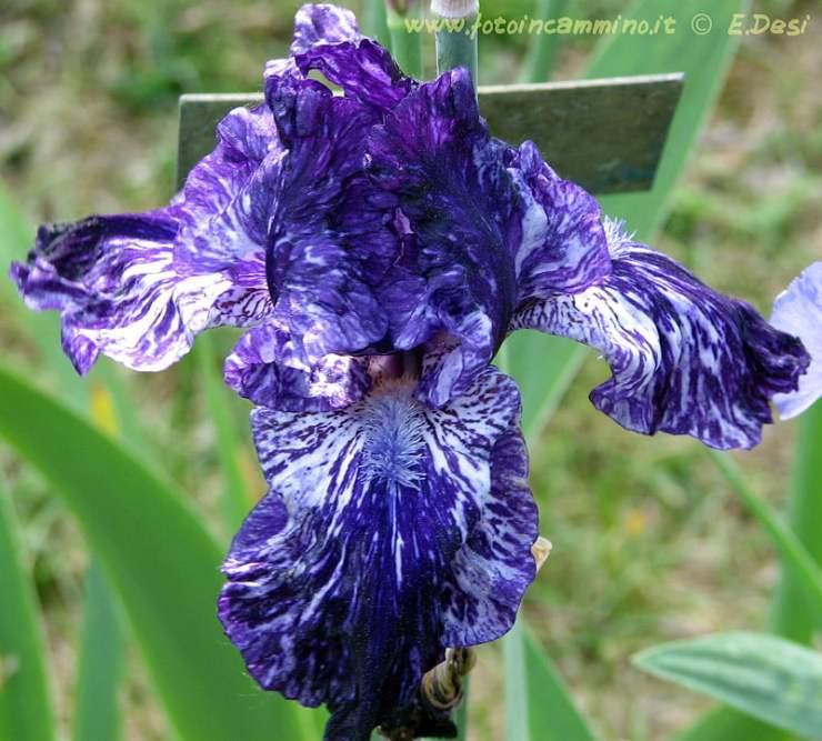 Giardino Iris Rose Firenze