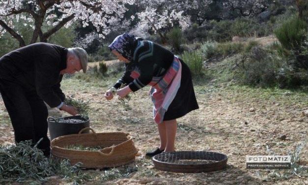 Harvesting olives in Benizar