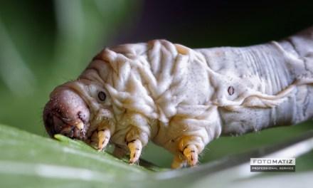 Little silkworm