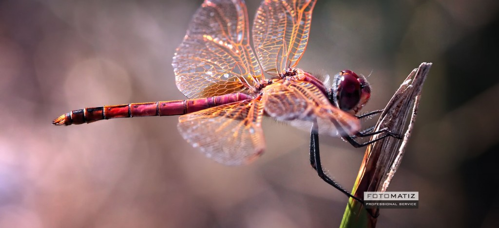 Dragonfly searching for prey