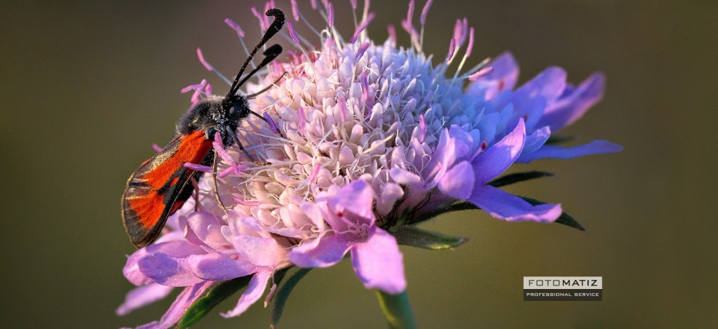 A colourful moth on a pink flower