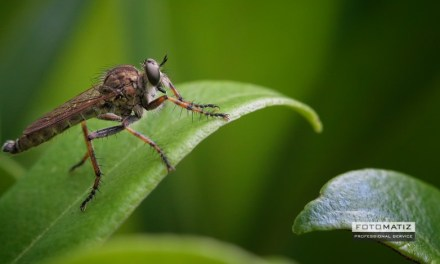 Robber fly looking for prey