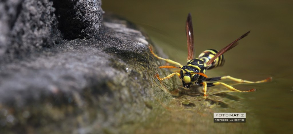 Little Wasp in a fountain