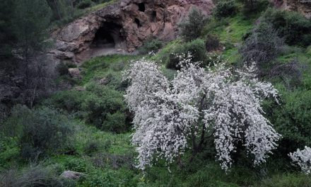 Almond blossoming in Murcia