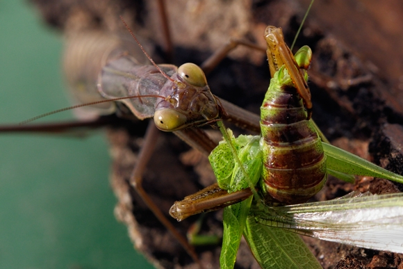 Macro mantis religioso