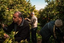 Three people picking oranges in the field of one of them - Fotografo: Sergi Villanueva (2019)