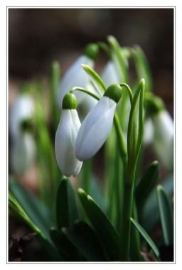 Snezienka jarna (Galanthus nivalis)