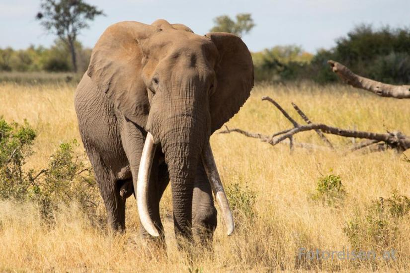Elefant in Südafrika