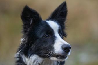 Fotografia zwierząt: border collie