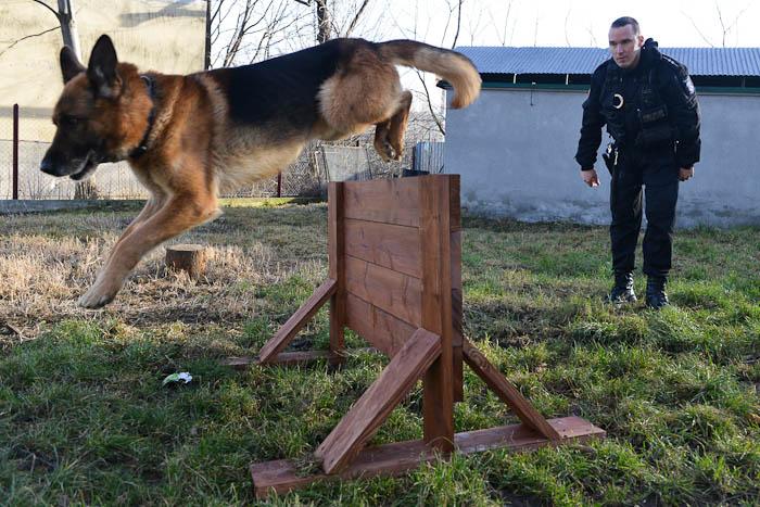 Skok przez przeszkodę- pies policyjny