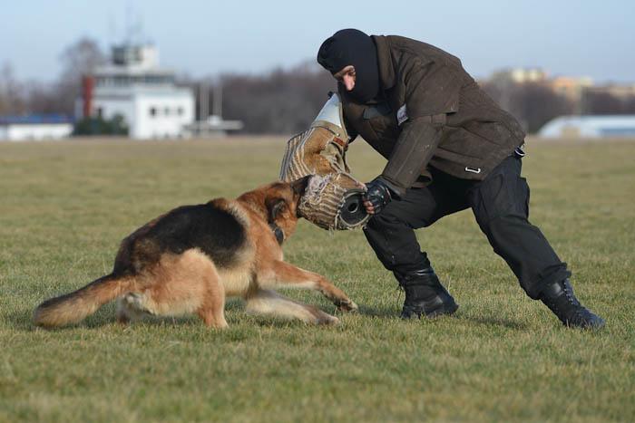 Trening psa policyjnego- agresja