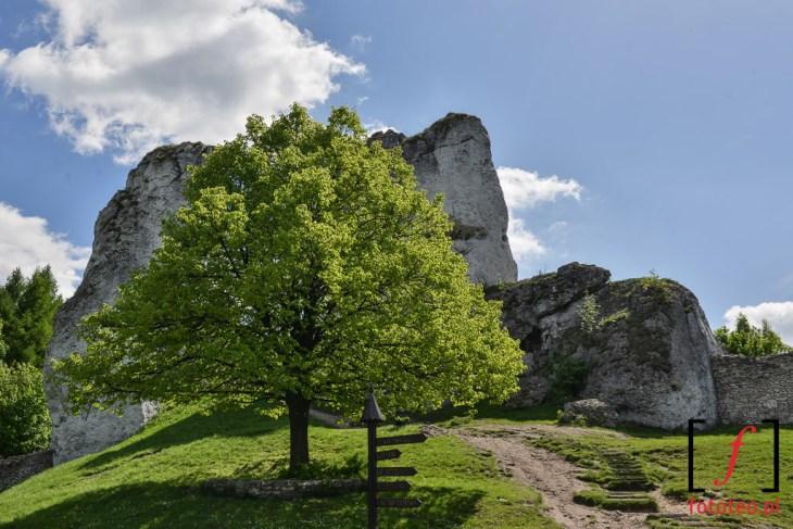 Zamek w Ogrodziencu drzewo