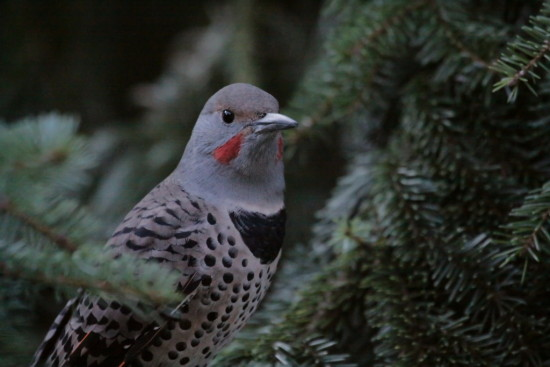NorthernFlicker Flicker Bird redshafted Burnaby BC Canada