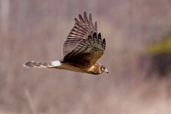 hawk Harrier Reifel Bird Delta BC Canada