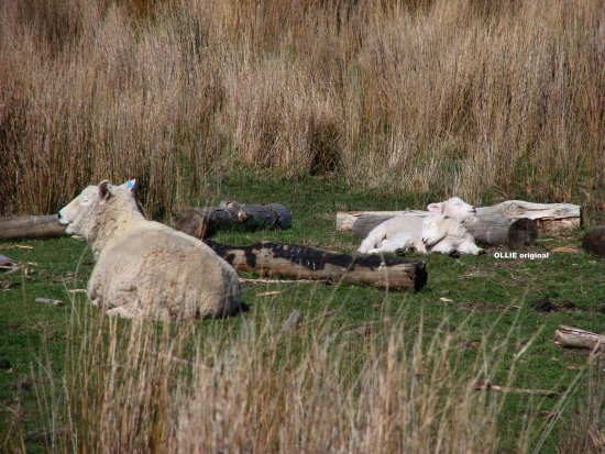 Image result for sheep happy in sun