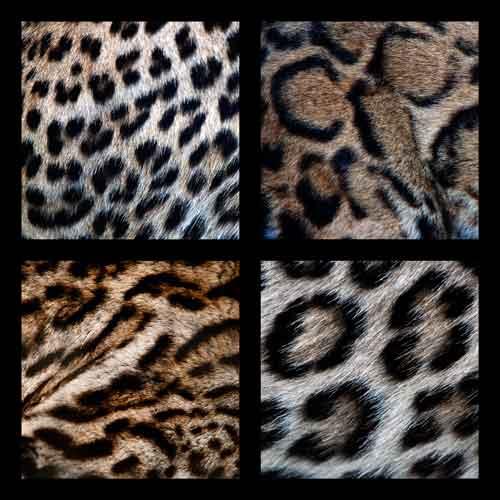 big cat animal fur