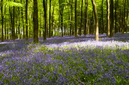 forest of bluebells poster picture