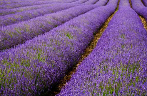 lavender photography workshop