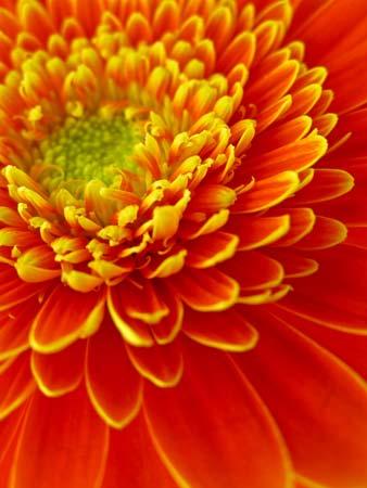 Gerbera floral art