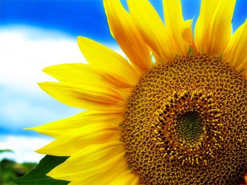 sunflower print on canvas